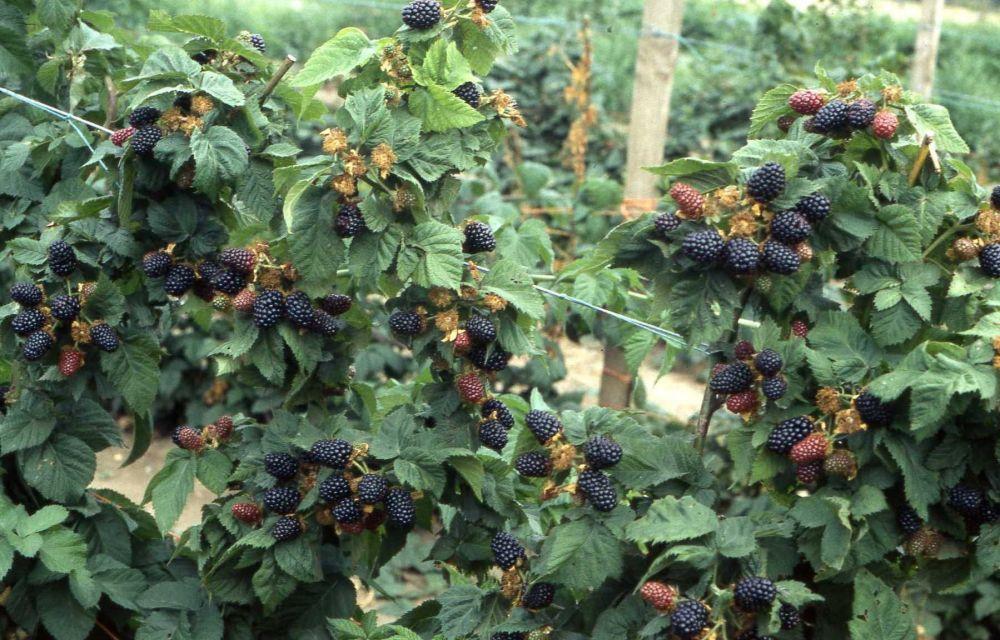 Как растет ежевика садовая