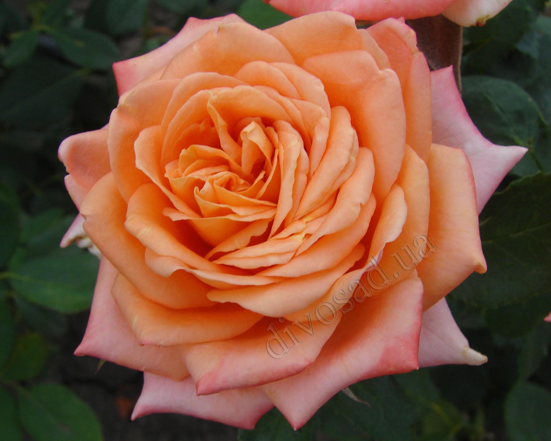 Роза эльдорадо фото 2